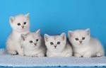 Продажа элитных британских котят