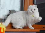 Британские котята на продажу